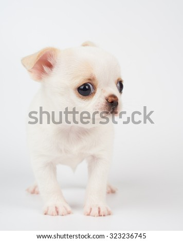 White lovely puppy of Chihuahua sits on white background                 - stock photo