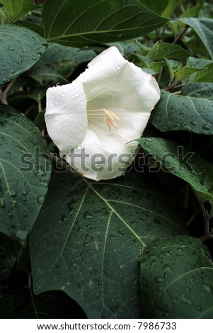 White madonna lily on flowerbed