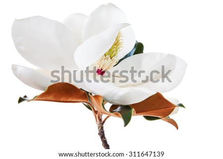 White Magnolia Blossom High Key Floral - stock photo