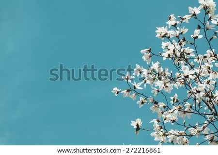 White Magnolia branch flowers, blue sky background. - stock photo