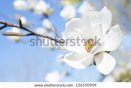 White magnolia flower against the sky close-up - stock photo