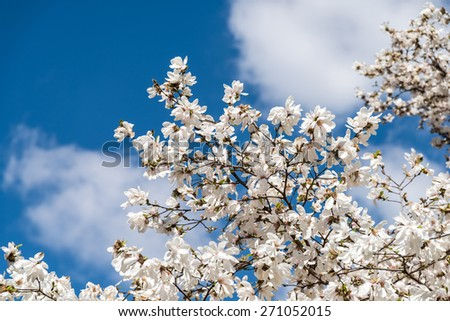 White Magnolia Flowers In Spring - stock photo