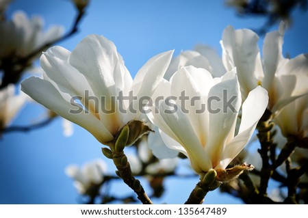 White magnolia flowers over blue sky