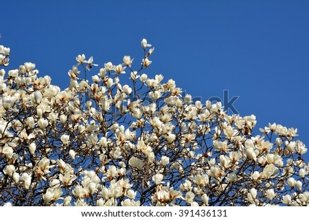 White magnolia tree blooming with blue sky