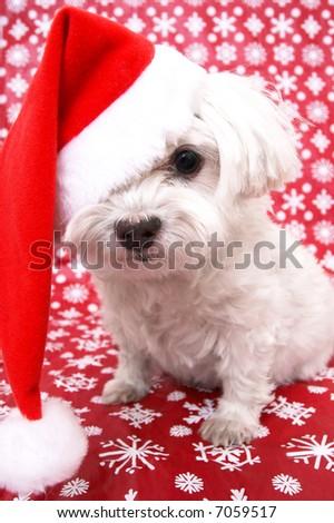 White Maltese dog in Christmas santa hat - stock photo