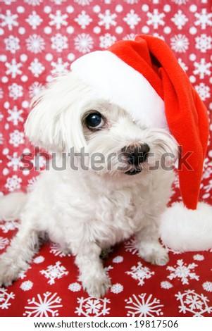 White Maltese dog in santa hat - stock photo