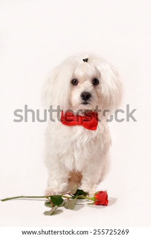 White Maltese dog with red bow and rose isolated on white background - stock photo