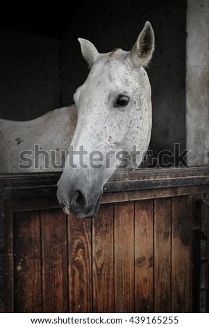 White mare from portuguese Alter Real breed - stock photo