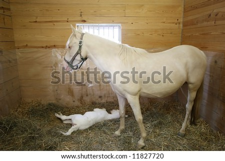 White mare with her newborn colt