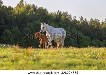 White mare with red foal at summer pasture. - stock photo