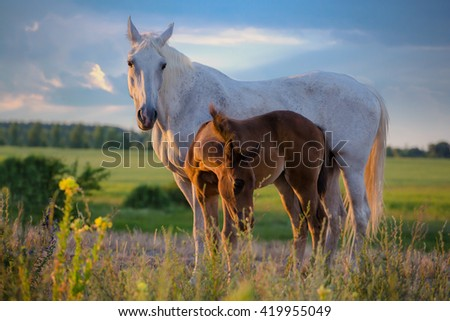 white mare with red foal stay on the field on summer