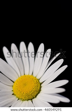 White marguerite with a black background