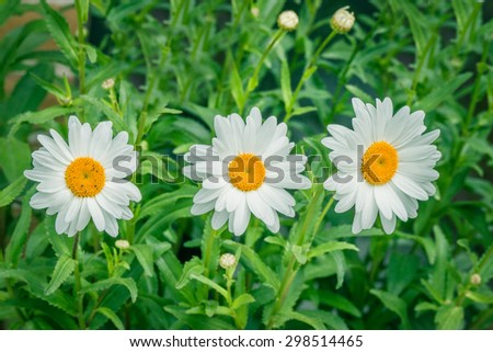 White marguerites on a row in the summer - stock photo