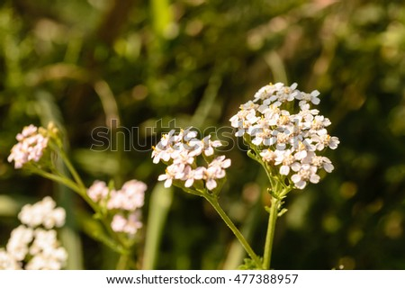 White meadow flowers stock photo download now 477388957 shutterstock white meadow flowers mightylinksfo