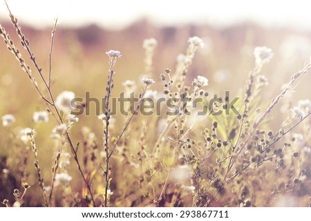 white meadow soft flowers. Vintage sunny autumn field natural background - stock photo