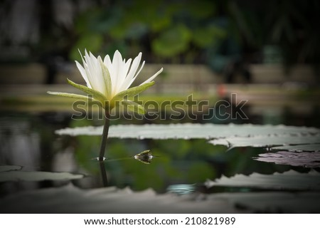 White meditative waterlily in tranquil pond - stock photo