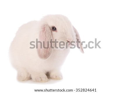 White Mini Lop bunny rabbit isolated on white background - stock photo
