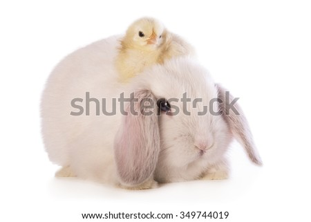 White Mini Lop bunny rabbit with Swedish Flower chick sitting on top  isolated on white background - stock photo