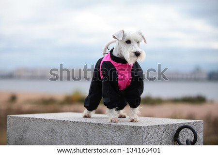 white miniature schnauzer in nature