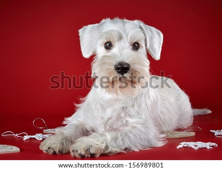 White miniature schnauzer puppy and Christmas decorations on a red background