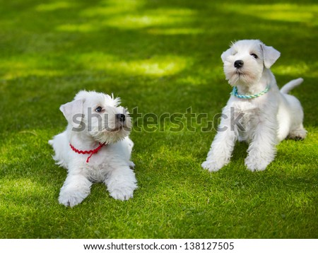 white miniature schnauzer puppy, 5 weeks old - stock photo