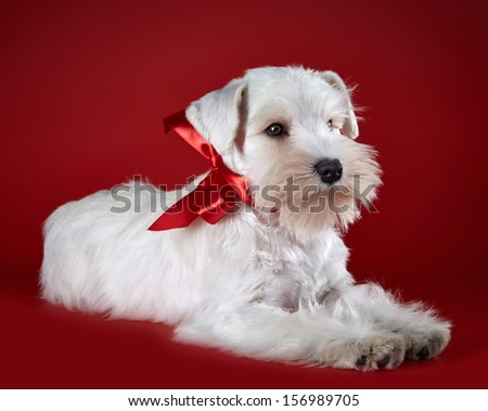 White miniature schnauzer puppy with red bow