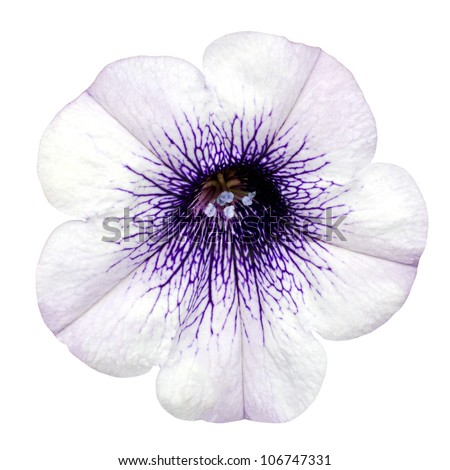 morning glory flower stock photos, royaltyfree images  vectors, Beautiful flower