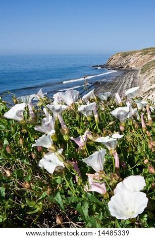 White Morning Glory flowers growing along the California coast. - stock photo