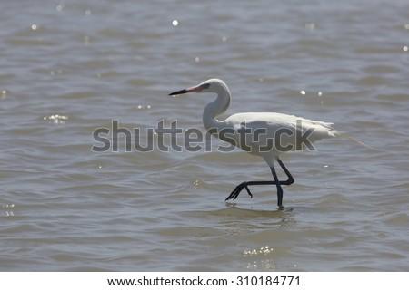 White morph of Reddish Egret (Egretta rufescens) in breeding plumage foraging for food in Galveston Bay - Texas - stock photo