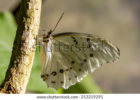 White morpho butterfly hanging onto tree branch in early morning sunlight - stock photo