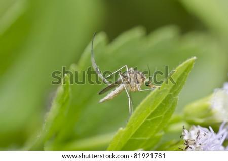 white mosquito - stock photo