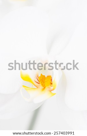White Moth orchid extreme close up and the focus is on the labellum - stock photo