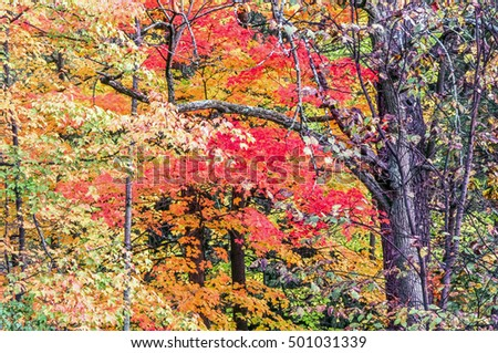 White Mountains, New Hampshire forest scene in autumn with maple tree