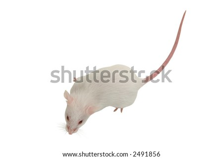 White mouse from above - stock photo