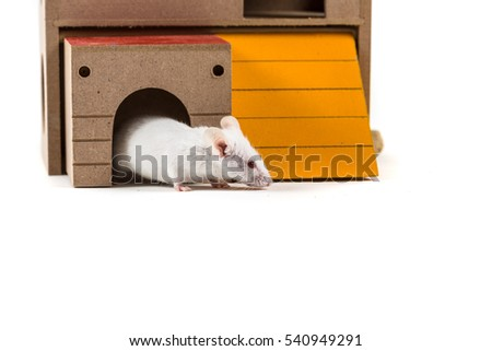 White mouse in a rodent house peeking out isolated on a white background