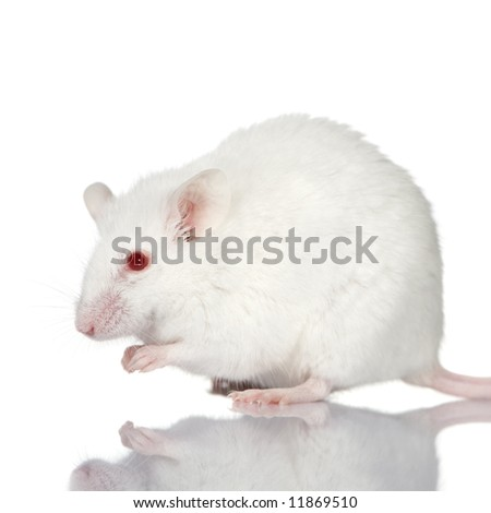 White Mouse in front of a white background - stock photo