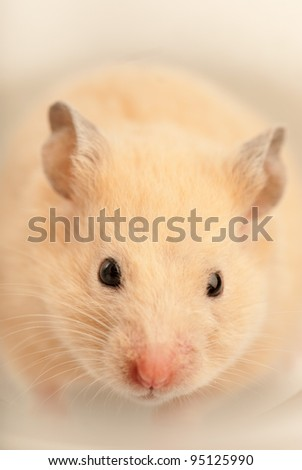 White mouse indoors with soft light