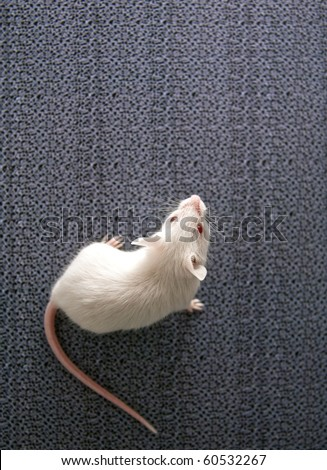 white mouse sitting on a blurred grey background - stock photo
