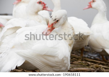 white muscovy duck