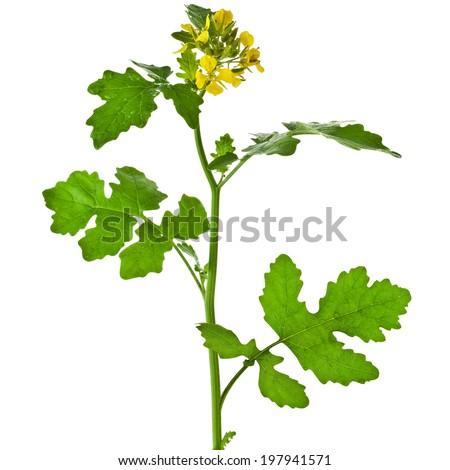 White mustard plant flowering close up  (Sinapis)  isolated on white background - stock photo