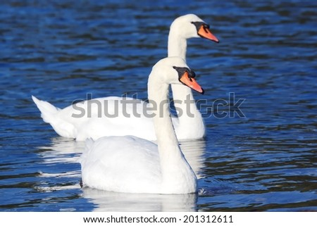 White Mute Swans - stock photo