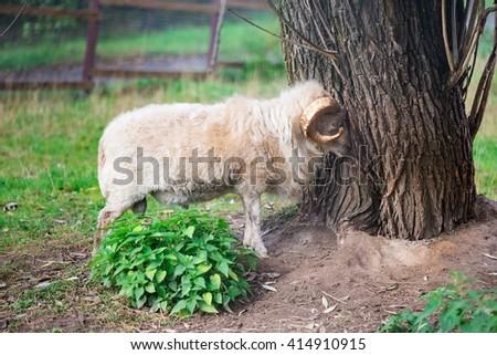 White mutton standing near tree trunk - stock photo