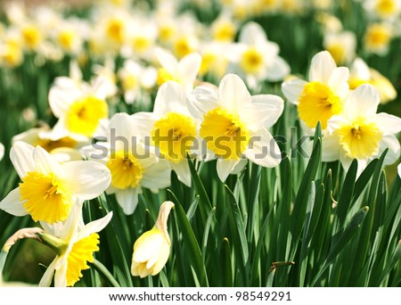 White narcissus in a group growing in a field - stock photo