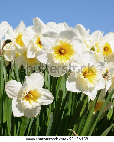 white narcissus with blue sky in background - stock photo