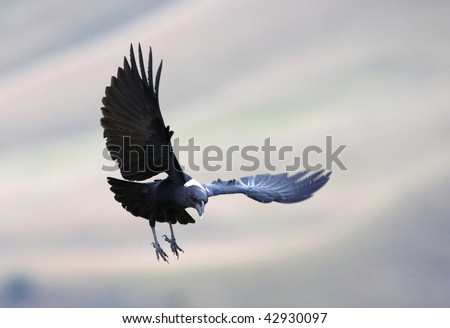 White-necked Raven (Corvus albicollis) in flight in South Africa - stock photo