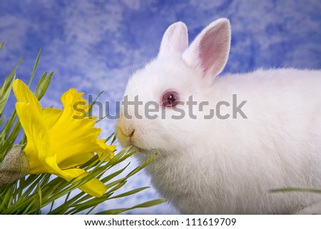 White Netherland Dwarf bunny rabbit eating grass with blue sky background and yellow daffodil flower