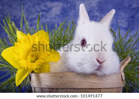 White Netherland Dwarf bunny rabbit in bushel basket with yellow daffodil flower and green grass blue sky background