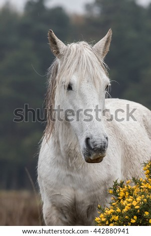 white new forest pony and gorse bush