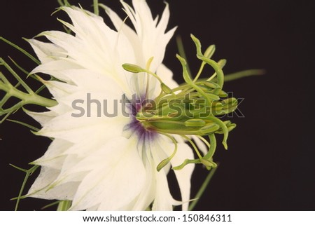 White Nigella flower - stock photo