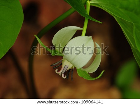 White nodding trillium, wild flower of the lily family - stock photo